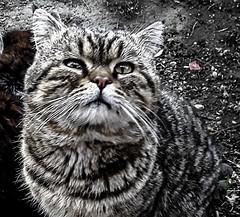 Кот... Мой кот.  Cat ... My cat. ) (fram121) Tags: ташкент кот персидский глаза tashkent cat persian eyes