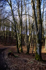 Snuffling around the beech leaves (allybeag) Tags: setmurthy woods forest trees beeches beechtrees bare winter leaves dog kiri