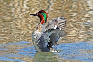 Green-winged Teal Drake 18-0310-6321