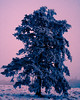 bLUe tREe! (m_laRs_k) Tags: flora 7dwf omd blackforest pink blue pop schwarzwald sliders lightroomed fun snow winter spring hss slidersunday