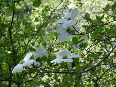Cornus nuttallii_SFO Yosemite3 (Alka Khare) Tags: cornus cornaceae