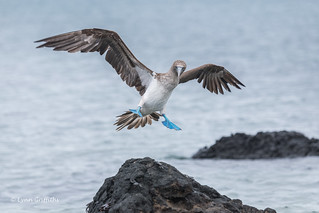 Blue-footed Booby - Get off my rock crabs D85_1828.jpg