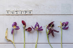 79/365: The last stand...possibly (judi may) Tags: 365the2018edition 3652018 day79365 20mar18 tulips dyingtulips flowers purple pink letters postcard script texture writing textures wood stilllife canon7d 50mm flatlay stems decay decayingbeauty
