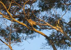 CORUJA (Brasil, agosto de 2012) (perfectdayjosep) Tags: parqueestadualdeguarapiranga sâopaulo brasil guarapirangasâopaulo perfectdayjosep coruja òliba solosagradodeguarapiranga