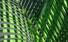 Natural green abstract (peggyhr) Tags: peggyhr palmfronds sunlight shadows green closeup creative textures dsc07783c hawaii thegalaxy thegalaxystars carolinasfarmfriends thegalaxylevel2 halloffamegallery9 super~sixbronze☆stage1☆ level1pfr infinitexposurel1