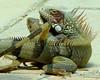 . (pedrovernet) Tags: iguana green reptil venezuela biodiversidad animal cópula reproducción reproductive behavior