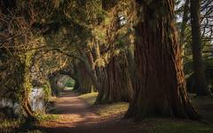 Heavenly Walk (JDWCurtis) Tags: path trees tree walkway walk trunk wales southwales cymru tredegar tredegarpark tredegarhouseandpark nationaltrust softlight gold golden