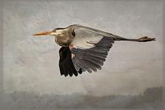 Great Blue Heron in Flight (rlb1957) Tags: ardeaherodias greatblueheron flight bif california mosslanding elkhornslough alicepopkorn felsenspiel texture flickr