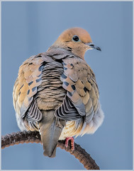 36 - Mourning Dove in Winter