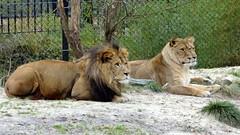 Eén of twee leeuwinnen? - One or two lionesses - DSC03639a (Leo van Zanten - Fotoalbum (Photoalbum)) Tags: leeuw leeuwin leuwinnen lion lioness lionesses dierentuin zoo emmen ad publicatie publication 2013