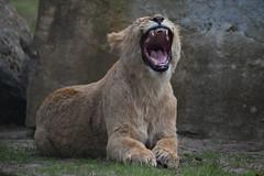Paula @ Safaripark Beekse Bergen 30-04-2017 (Maxime de Boer) Tags: paula african lion cub lioness afrikaanse leeuw leeuwin welpje leeuwenwelpje panthera leo big cats katachtigen safaripark beekse bergen hilvarenbeek zoo animals dieren dierentuin gods creation schepping creator schepper genesis