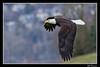 Bald Eagle in flight-2 (billthomas_steel) Tags: eagle baldeagle bird britishcolumbia fraservalley wildlife spring nestingtime haliaeetusleucocephalus canada canon eos7dmarkii birdsinflight