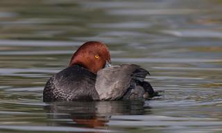 Redhead duck Drake Reid park az