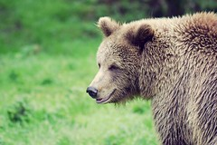 Brown bear (dan487175) Tags: brownbear fur brown bear green orso mammal headshot head
