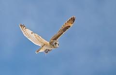 Shorty with breakfast (knobby6) Tags: shortearedowl raptor owl birdofprey california nikond5 600mm