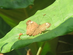 Tanaecia jahnu (dhobern) Tags: 2018 china tanaeciajahnu lepidoptera march nymphalidae xtbg xishuangbanna yunnan limenitinae