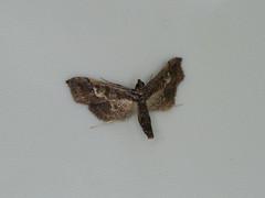 Hydriris (dhobern) Tags: 2018 china lepidoptera march xtbg xishuangbanna yunnan crambidae spilomelinae hydriris