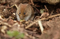 tucking in (westoncfoto) Tags: bankvole clumberpark