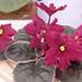 非洲紫羅蘭 Saintpaulia Lucky Devil     [香港花展 Hong Kong Flower Show]
