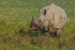 Indian Rhinoceros (endangered) (cirdantravels (Fons Buts)) Tags: rhinoceros rhinocerosunicornis unicornis rhino rhinocéros neushoorn nashorn pantserneushoorn panzernashorn rhinocerotidae dudhwa dudhwatigerreserve coth coth5 ngc