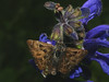 Carcharodus alceae - Mallow skipper - Толстоголовка большая мальвовая (Cossus) Tags: 2013 carcharodus hesperiidae pyrginae лишняги толстоголовка skipper