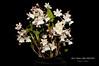 Dendrobium Nano Chip AM/AOS (Orchidelique) Tags: nature plant flower orchid hybrid dendrobium den nanochip microchip aberrans am aos ncjc shurdel 20184816