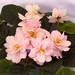 非洲紫羅蘭 Saintpaulia Summer Comfort     [香港花展 Hong Kong Flower Show]