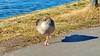 47 - Francfort Mars 2018, Mainkai (paspog) Tags: francfort frankfurt mars march märz 2018 mainkai canadr duck