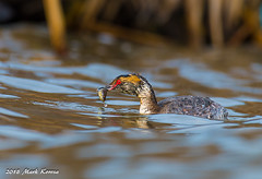 The Catch That Got Away (Image_Czar) Tags: saganashkeeslough cookcountyforestpreserve cookcountybirds illinoisbirds hornedgrebe wildlife nature greatoutdoors