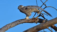 Stretch... (Hanzy2012) Tags: nikon toronto ontario canada wildlife bird owl snowyowl buboscandiacus afsnikkor500mmf4difedii d500 nature wild