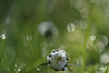 DEMOISELLE (FLOCVROFF) Tags: drop daisy paquerette macro 50mm chivaroff march green bokeh dust nature 7dwfflora friendlychallenge