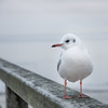 Maritime relaxation (lensflare82) Tags: gull möwe soft outdoor natur nature animal bird vogel focus atmosphere atmosphäre gefieder coast wind meer himmel ozean ocean wasser water wood holz steg eos 700d shutterbug canon