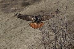 Red-tailed hawk (alex_7719) Tags: bird animal hawk redtailedhawk toronto ontario canada downsviewpark торонто онтарио канада птица buteojamaicensis краснохвостыйсарыч ястреб