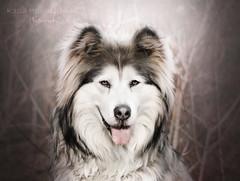Lucky (kahora777) Tags: dogphotography animalsphotography petphotography portrait pet dog alaskanmalamute outdor light