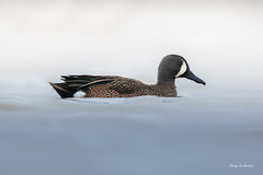 Blue-winged Teal (clayguthrie13) Tags: waterfowl missouri duck bluewinged teal ten mile pond mdc bird overcast