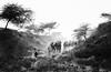 Into the ravine (Padmanabhan Rangarajan) Tags: ravine rajasthan pushkar cattle herders camels evening sunset