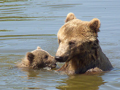 Playing in water (cats_in_blue) Tags: scandinavianwildlifepark skandinaviskdyrepark brownbear bear bearcub bjørne bjørneunger bigandsmall