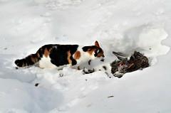 """ I found a carcass "".....(That`s why my tail is so big ) (KvikneFoto) Tags: åsta katt cat vinter winter snø snow carcass kadaver åtsel tamron nikon"
