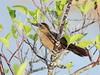 Boat-tailed Grackle female 20180331 (Kenneth Cole Schneider) Tags: florida miramar westmiramarwca