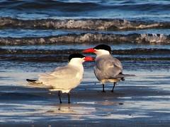 Surfbirds (thomasgorman1) Tags: birds terns wildlife surfbirds seabirds canonm shore baja mx mexico water sea ocean nature