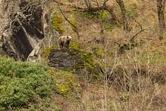 En el trono (Cealma) Tags: osopardo osopardocantabrico osocantabrico cangasdelnarcea canoneos1dx ef500mmf4lisiiusmef14xiii faunaiberica faunasalvaje faunayfloradeasturias faunaasturiana