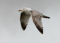 Herne Bay Herring Gull