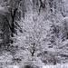 Snow-covered trees (2 April 2018) (Newark, Ohio, USA) 3