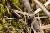 Decticus verrucivorus (NakaRB) Tags: nymph insecta orthoptera tettigoniidae decticusverrucivorus 2015