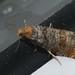 Coccyx turionella - Pine bud moth