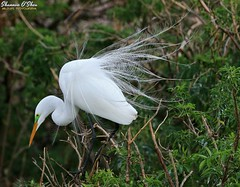 No matter how you feel, get up, dress up, show up, and never give up. (Shannon Rose O'Shea) Tags: shannonroseoshea shannonosheawildlifephotography shannonoshea shannon greategret egret bird beak feathers aigrettes wings white breedingplumage lores leaves branches alligatorbreedingmarshandwadingbirdrookery gatorland orlando florida flickr wwwflickrcomphotosshannonroseoshea nature wildlife waterfowl ardeaalba colorful art photo photography photograph wild wildlifephotography rookery gatorlandbirdrookery plumage plumes outdoors outdoor fauna canon canoneos80d canon80d eos80d 80d canon100400mm14556lisiiusm throughherlens shootlikeagirl shootwithacamera thl birdyfeet skinnylegs femalephotographer girlphotographer