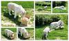 Enrichissement tigres blancs (Raymonde Contensous) Tags: parcdesfélins tigres félins animaux lumignyneslesormeaux tigresblancs