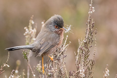 Dartford Warbler (PINNACLE PHOTO) Tags: dartfordwarbler sylviaundata bird small amber noise call tweet grey brown birdlike