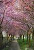 Allee mit Japanischen Zierkirschen in Mühldorf am Inn (john_berg5) Tags: spring japan zierkirsche frühling blossum allee alley nikon d750