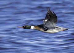 In a hurry (Alec_Hickman) Tags: atlantic bird duck merganser flight flying wings feathers wildlife nature canada water sea ocean colours beauty